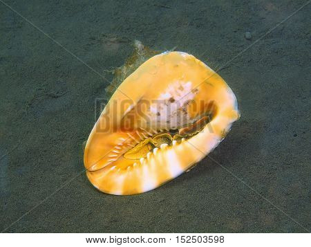 The surprising underwater world of the Bali basin, Island Bali, Puri Jati, shell of mollusc