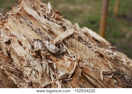texture of a broken tree poedennogo insects and wood rot become