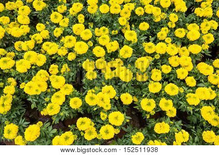 Yellow marigold flowers in the garden background.