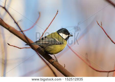 Portrait of a tit on a branch closeup