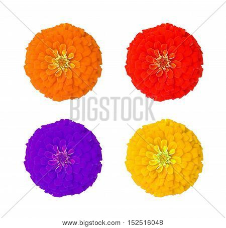 four colorful bloom zinnia on white background