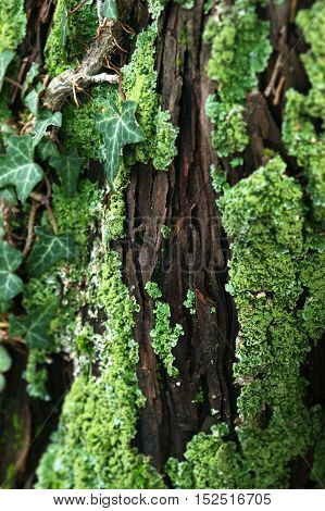 Detail of bark covered with moss and ivy
