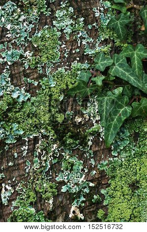 Ivy and moss of different colors on a tree bark