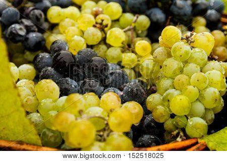 Bobovische Ukraine - 2016 October 16: Grapes of different varieties on the counter during etnofestival Bobovischanske Grono 2016.