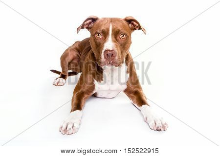 pitt bull dog portrait laying in white background looking at the camera