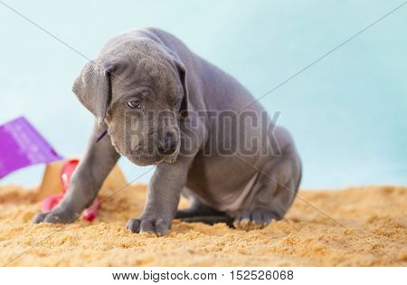 Gray Great Dane purebred puppy on the sand ready to play