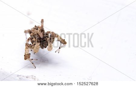 Brown Spider Close up Isolated on White