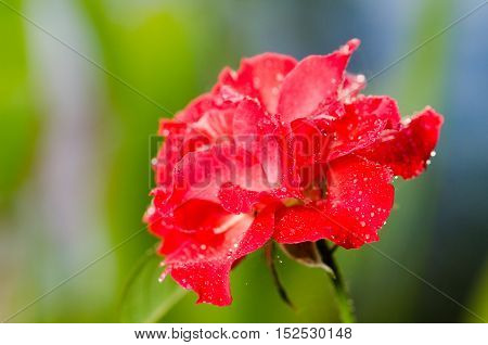 Red roses and dew drops watery eyes blurred background.