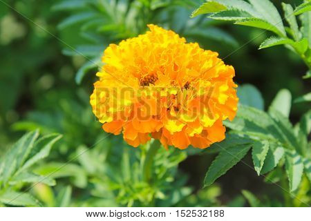 Bright beautiful marigold growing in the garden