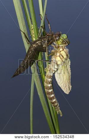Metamorphosis of dragonfly Blue darner Aeshna cyanea