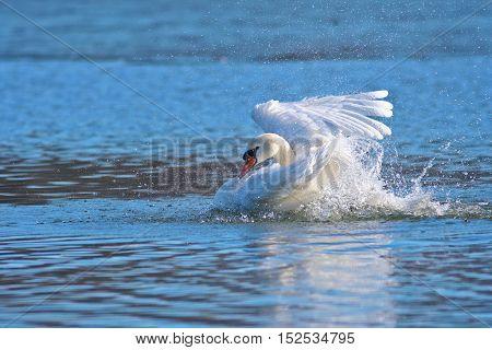 Mute swan Cygnus olor bathing in the pond