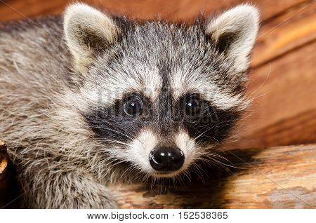 Portrait of a curious raccoon sitting on the tree