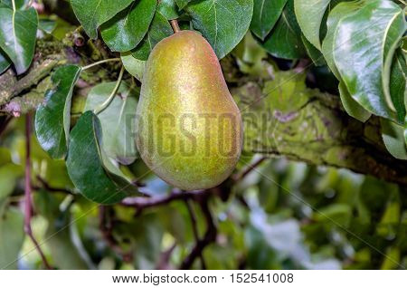 Closeup of a Triomphe de Vienne pear almost ripe for picking growing on a tree in a Dutch orchard with pear espaliers on a sunny day in the fall season.