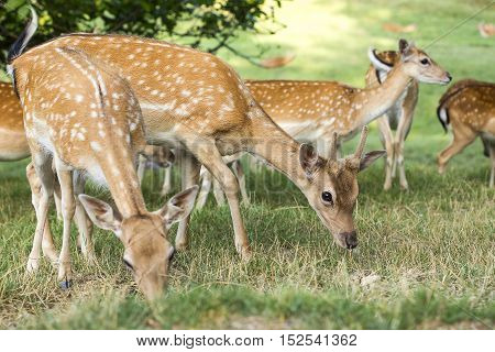 Group of young deers looking for food.