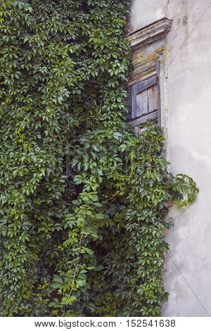 Ivy plant is climbing over the window