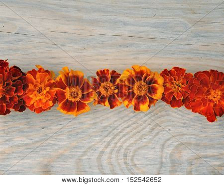 Rows of red flowers marigold on the wooden surface. Close up.