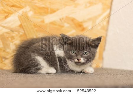 Gray kitten with a spot on the muzzle