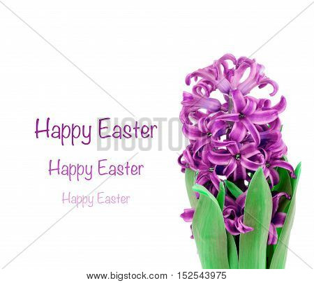 Easter Greeting Card with Beauty Lilac Hyacinth and Empty White Place with Congratulations