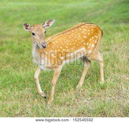 Young deer hind is looking around for danger.