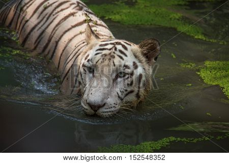 White Bengal Tiger half submerged in water