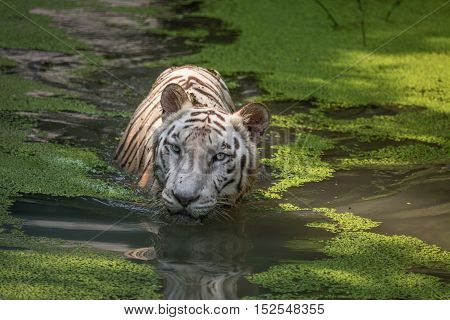 White Bengal Tiger submerged in a swamp