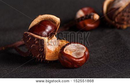 Chestnut on twig close up on black background