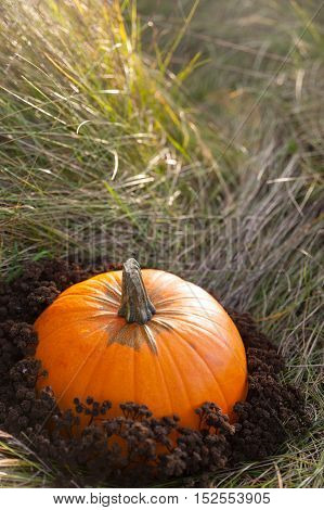 Harvested pumpkin on lawn over autumn nature grass background