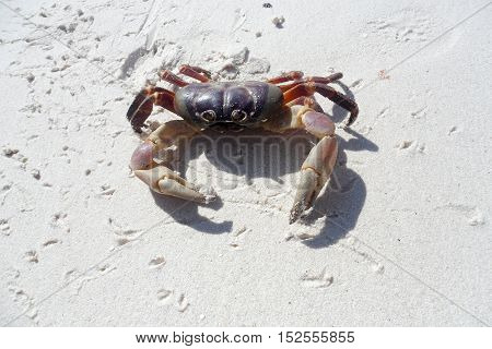 Chicken Crab on the beach of Koh Tachai Island ,Phang Nga ,Thailand