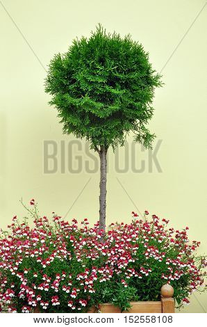 Decorative spherical dwarf Thuja growing in a wooden pot with small pink flowers on a background of yellow plastered surface.
