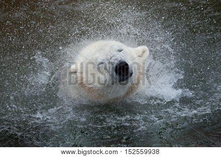 Polar bear (Ursus maritimus) shaking water off. Wildlife animal.