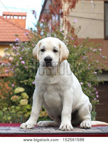 The Little Labrador Puppy On A Grey Background