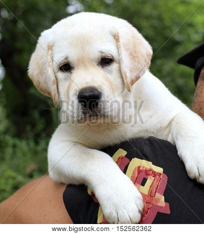 The Little Cute Labrador Puppy On A Shoulder
