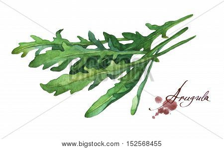 Arugula fresh leaf.  Hand drawn watercolor painting on white background.