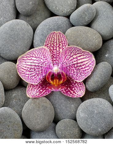 Beautiful orchid and gray stones
