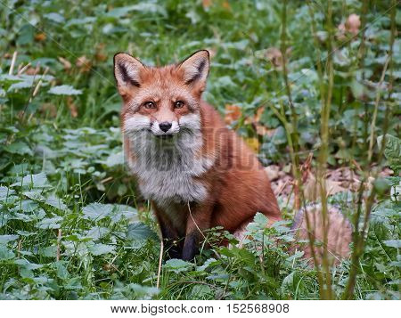 Red fox sitting in vegetation in its habitat