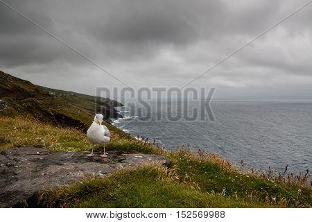 Seagull Sitting On Dingle Penisula