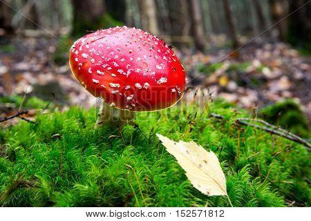 fly agaric mushroom in autumn time