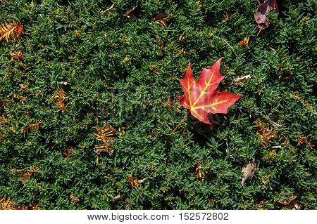 red maple leaf on a green yew hedge. autumn background. beautiful yew hedge. empty space for your text