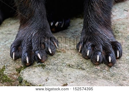 Closeup image of the paws of a Wolverine (Gulo gulo)