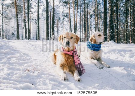 Portrait of a dog wearing a scarf outdoors in winter. two young golden retriever playing in the snow in the park. Dog Clothes.