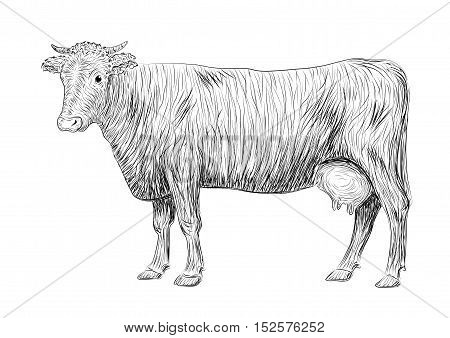 Cow calf bull cute muzzle animal mammals living full-length entire. Vector vertical closeup side view outline black sign signboard icon logo sketch illustration in pen isolated on white background