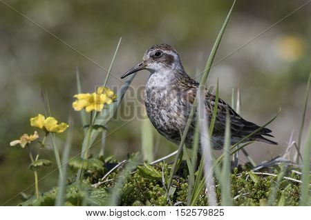 ROCK SANDPIPER standing in blooming tundra sunny day