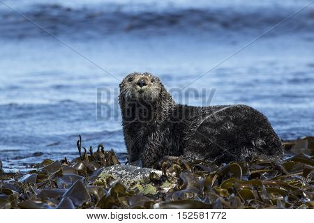 sea otter sitting on rocks shoreline summer day