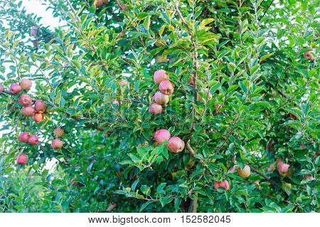 Ripe red apples on tree red apple on a tree