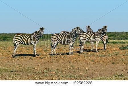 Zebras, From Koeburg Nature Reserve, Cape Town South Africa 11saf