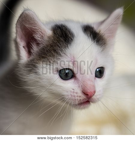 Detail Of Few Weeks Old White Tabby Tomcat Head