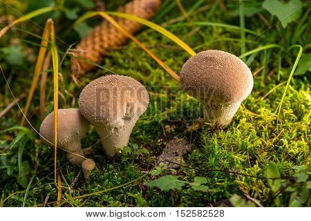 Group Of Puffballs Mushtooms In Green Moss