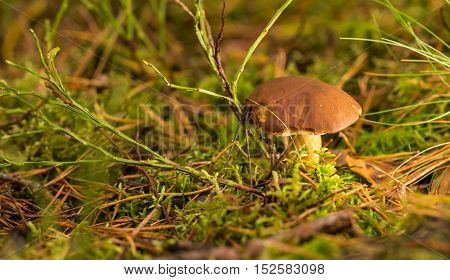 Single Brown Boletus Mushroom In Moss