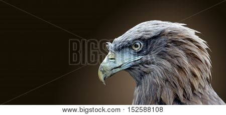 The head of an eagle bird isolated on a brown background.