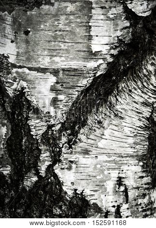 abstract background or texture old dirty birch bark